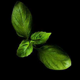 Plantui Basilico